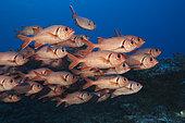 Shoal of Blotcheye Soldierfish, Myripristis berndti, Fakarava, Tuamotu Archipel, French Polynesia
