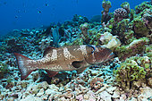 Saddleback Coral Trout at Cleaning Station, Plectropomus laevis, Fakarava, Tuamotu Archipel, French Polynesia