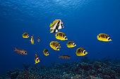 Shoal of Racoon Butterflyfish, Chaetodon lunula, Fakarava, Tuamotu Archipel, French Polynesia