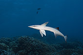 Suckerfish, Echeneis naucrates, Fakarava, Tuamotu Archipel, French Polynesia