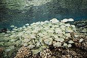 Shoal of Convict Surgeonfishes over Coral Reef, Acanthurus triostegus, Fakarava, Tuamotu Archipel, French Polynesia