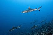 Grey Reef Shark, Carcharhinus amblyrhynchos, Fakarava, Tuamotu Archipel, French Polynesia