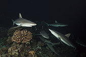 Grey Reef Shark hunting at Night, Carcharhinus amblyrhynchos, Fakarava, Tuamotu Archipel, French Polynesia