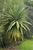 Mcabbage tree (Cordyline indivisa)