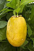 Giant granadilla (Passiflora quadrangularis), fruit