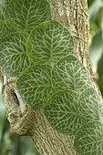 Shingle Plant (Rhaphidophora cryptantha) leaves