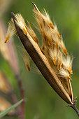 Follicles and seeds of oleander (Nerium oleander)