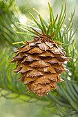 Chinese Fir (Cunninghamia lanceolata), cone