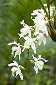Orchid (Coelogyne x intermedia) in bloom