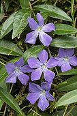 Lesser Periwinkle (Vinca minor) in bloom