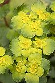 Dorine à feuilles alternes (Chrysosplenium alternifolium)