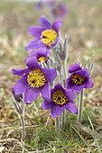 Pasque flower (Pulsatilla vulgaris), Rosenwiller, Bas-Rhin, Alsace, France