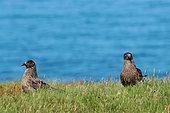 Great skua (Stercorarius skua) on ground, Handa, Scotland