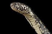 Cobra nain aquatique du Congo (Naja nana)