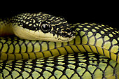 Golden flying snake (Chrysopelea ornata)