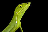 Vietnamese forest lizard (Bronchocela vietnamensis)
