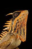 Natalia's mountain horned dragon (Acanthosaura nataliae)