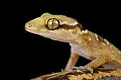 Banded leaf-toed gecko (Hemidactylus fasciatus)