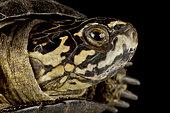 Okavango mud turtle (Pelusios bechuanicus)
