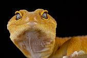 Leopard gecko (Eublepharis macularius) Mandarin