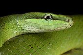 Red-tailed green ratsnake (Gonyosoma oxycephalum)