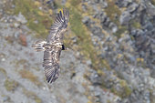 Bearded Vulture (Gypaetus barbatus), juvenile in flight seen from above, Trentino-Alto Adige, Italy
