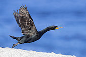 Cape Cormorant (Phalacrocorax capensis), side view of an adult at take-off, Western Cape, South Africa
