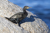 Cape Cormorant (Phalacrocorax capensis), side view of an adult in breeding plumage standing on a rock, Western Cape, South Africa