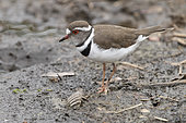 Three-banded Plover (Charadrius tricollaris), side view of an adult standing on the ground, Mpumalanga, South Africa