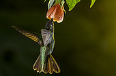 Magnificent hummingbird (Eugenes fulgens) flying and feeding on a flower inside the Moxviquil Reserve, Chiapas, Mexico.
