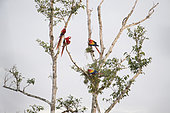 Couples of Scarlet Macaw (Ara macao cyanoptera) on a tree in search of food. Montes Azules Biosphere Reserve, Chiapas, Mexico.