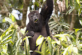 Black howler monkey (Alouatta pigra) eating green leaves on tree inside the Montes Azules biosphere reserve, Chiapas, Mexico.