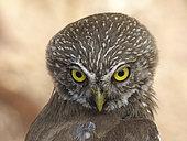 Pygmy owl (Glaucidium brasilianum) in the physiographic region Central depression, Chiapas. Mexico