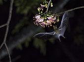 Maguey minor bat (Leptonycteris yerbabuenae) flying and feeding on pochota flowers (Ceiba pentandra) during the night. Cañon del Sumidero National Park, Chiapas, Mexico.