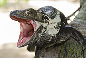 Black iguana (Ctenosaura pectinata) in defensive position, Central depression of Chiapas, Mexico.
