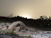 Tortue imbriquée (Eretmochelys imbricata) pondant ses œufs sur une plage du Yucatan, Mexique.