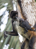 Spider monkey and his baby watching (Ateles geoffroyi), Montes Azules Biosphere Reserve, Chiapas, Mexico.