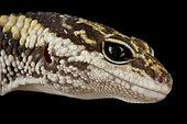 East Indian leopard gecko (Eublepharis hardwickii)