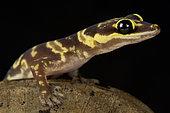Western marbled velvet gecko (Oedura fimbria )
