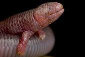 Four-toed Worm Lizard (Bipes canaliculatus)