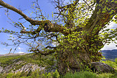 The famous chestnut of Bellieux, in Diois, one of the oldest known chestnuts, with 10 m in circumference and an estimated age of more than 500 years. Gorges of Saint Moirans, Drôme, France