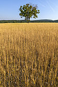 Field of Einkorn (Triticum monococcum) on the plateau of Sault, Vaucluse, Provence, France