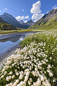 Cotton grass (Eriophorum sp) on the shores of Goléon lake, in the background, the Aiguilles d'Arves, Ecrins National Park, north of La Grave,