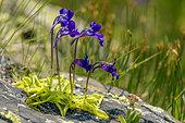 Grassettes à longues feuilles (Pinguicula longifolia) en fleurs, Massif de l'Ossau, Parc National des Pyrénées, France
