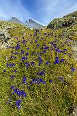 Iris des Pyrenées (Iris latifolia) en fleurs dans le massif de l'Ossau, Parc National des Pyrénées, France