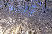 Beech forest after a snow squall, Massif du Grand Colombier, Bugey, Ain, France