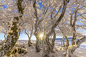 Winding beech trees after a snow squall, Massif du Grand Colombier, Bugey, Ain, France