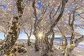 Hêtres tortueux après une bourrasque de neige, Massif du Grand Colombier, Bugey, Ain, France