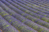 Lavender field on the Sault plateau, Spectacular flowering at the end of July on the Sault plateau, renowned for the quality of its fine lavenders, Vaucluse, Provence, France
