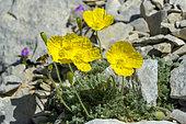 Alpine poppy (Papaver alpinum) in bloom on the ridges of Mont Ventoux, Mont Ventoux Biosphere Reserve, Vaucluse, Provence, France